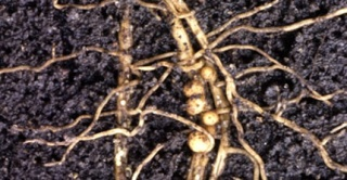 soybean-cyst-nematode-feature